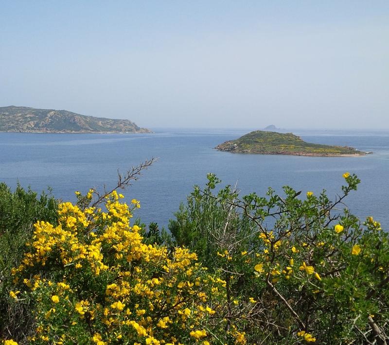 ginestra-gialla-mare